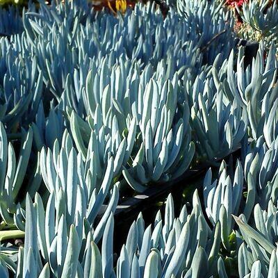 Senecio mandraliscae 'Blue Chalk Sticks'