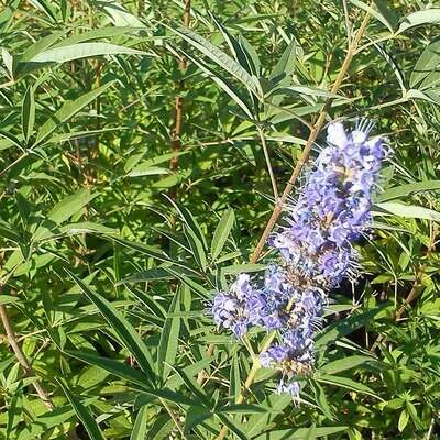 Vitex agnus-castus purpurea
