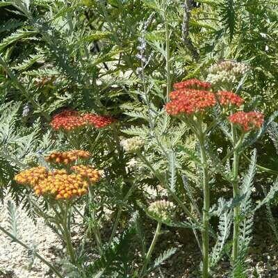 Achillea millefolium 'Safran'