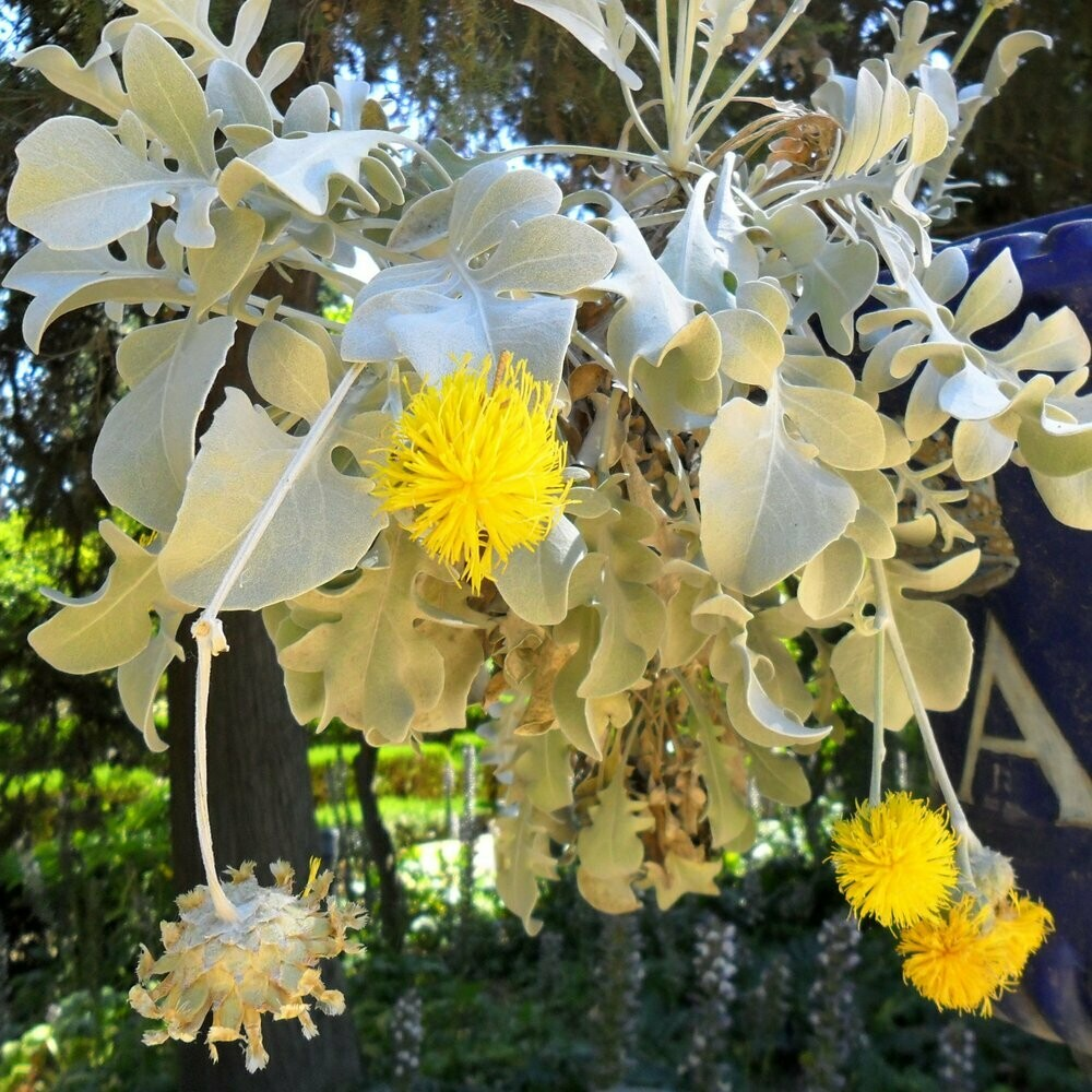 Centaurea ragusina