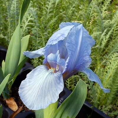 Iris pumila 'Azurea'