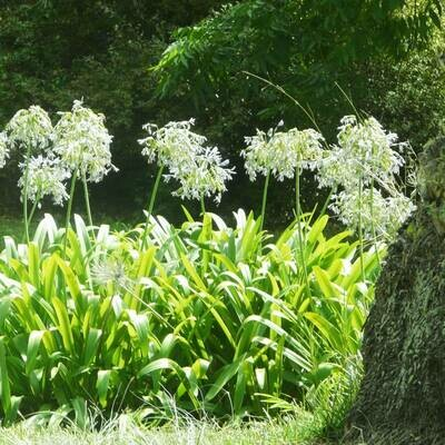 Agapanthus praecox 'Getty White'