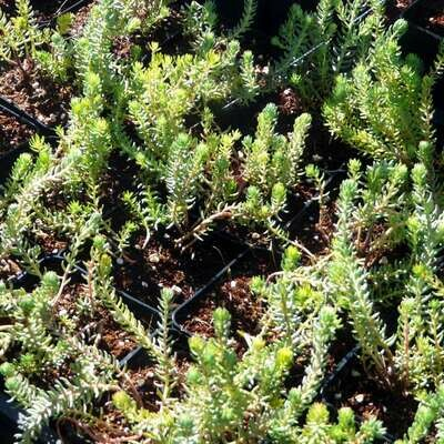 Sedum ochroleucum (European Stonecrop)
