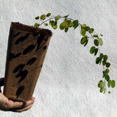Bauhinia yuannensis