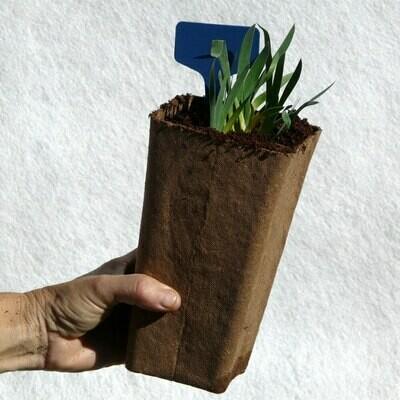 Iris lutescens (Azul)