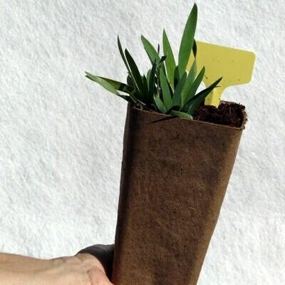 Iris lutescens (Yellow)