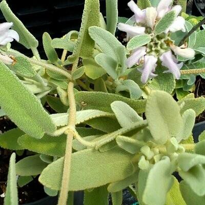 Phlomis bovei subsp. maroccana