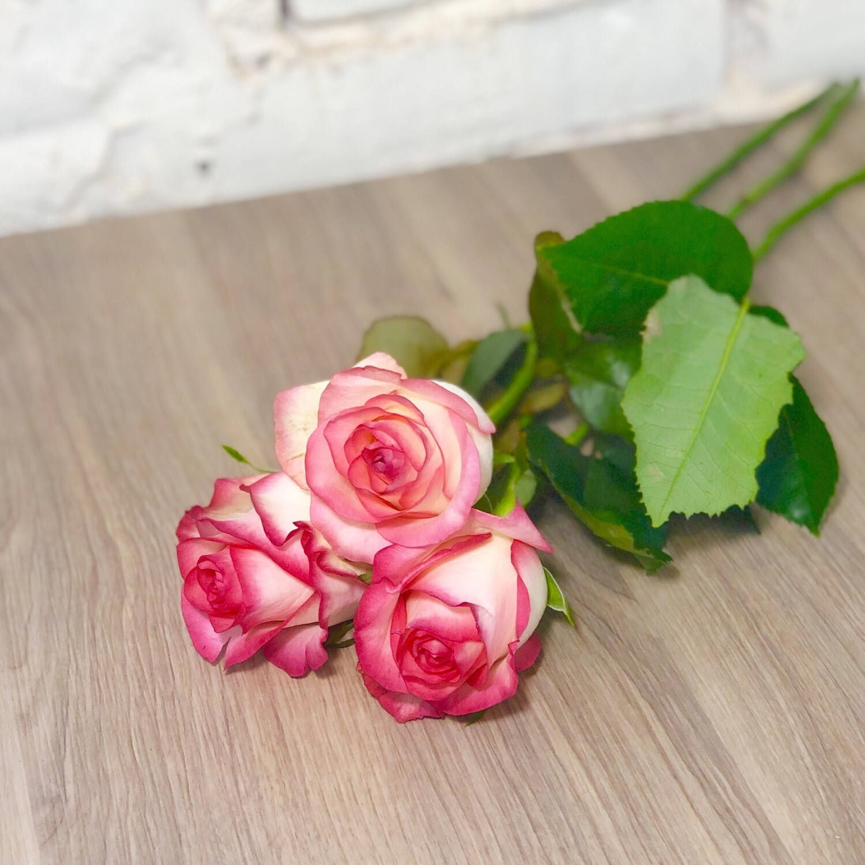 Роза Джумилия, белая с красным, по-штучно