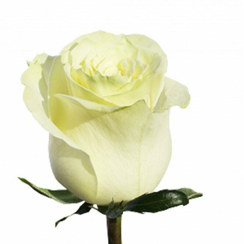 Роза по-штучно Эквадор Мондиаль 60 см.