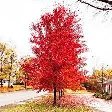 Maple Autumn Blaze 1 3/4