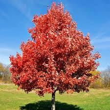 Maple Brandywine $189.99