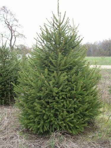 Spruce Norway Picea Abies (6' -7' b/b) $199.99
