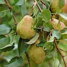 Fruit Tree Pear Kieffer (5 gallon) $99.99