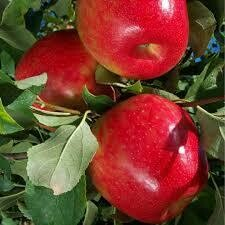 Fruit Tree Apple Honeycrisp (5 gallon) $99.99