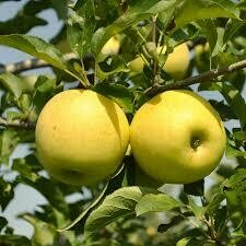 (Spring 2021) Fruit Tree Apple Yellow Delicious (5 gal.) $59.99