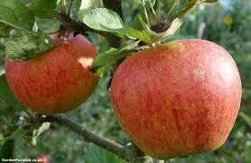 Fruit Tree Apple Gala (5 gallon) $99.99