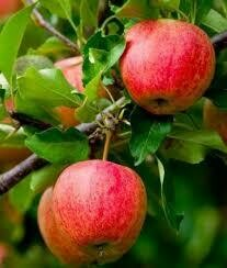 (Spring 2021) Fruit Tree Apple Fuji (5 gallon) $59.99