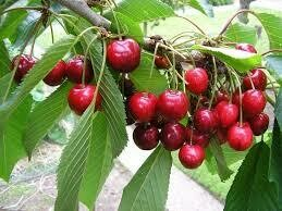 Fruit Tree Cherry BING -Sweet  (5 gallon) $99.99