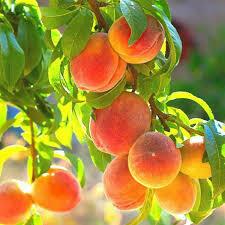Fruit Tree Peach BELLE OF GEORGIA (5 gallon) $99.99