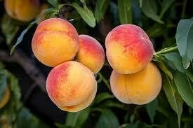 (Spring 2021) Fruit Tree Peach Redhaven (5 gallon) $59.99