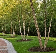 Birch River 'Betula Cully' $169.99