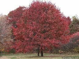 Oak Scarlet Rubra (15 gallon pot) $189.99