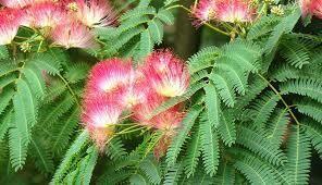 Mimosa Tree $99.99