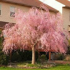 Cherry Weeping Pink (10 gallon) $199.99