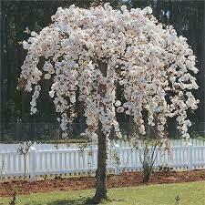 Cherry Weeping White Snowfountain (10 gallon) $199.99
