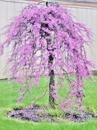 Redbud Weeping Lavender Twist $199.99