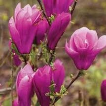 Magnolia Jane (4-5' b/b) $159.99