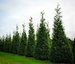 Arborvitae Green Giant (5' container) $119.99