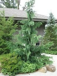 Cedar Weeping Alaskan (7 gallon) $199.99