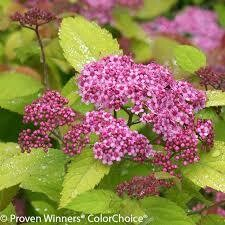 Spirea Big Bang Double Play/Goldmound $34.99