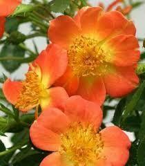 Rose Oso Easy Paprika $49.99