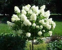 Hydrangea Tree Limelight $129.99
