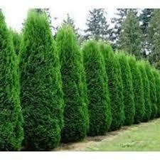 Arborvitae Thuja Smaragd Emerald Green (7 gallon) $99.99
