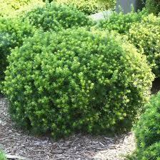 Yew Dense Taxus Densiformis $34.99