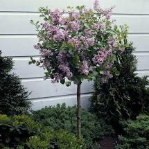Lilac Palibin Dwarf Tree on standard $199.99