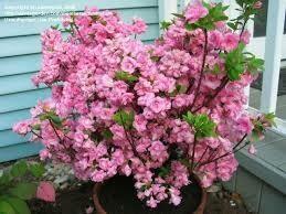 Azalea Rosebud (3 gallon) $49.99
