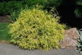 Falsecypress Chamaecyparis Lemonthread (3 gallon) $49.99