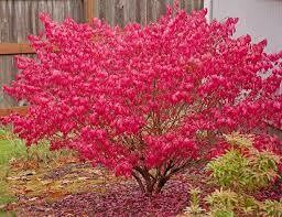 Burning Bush Euonymus (3 gal) $39.99