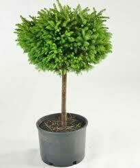 Spruce Birdsnest Picea Little Gem (Tree on Standard) $199.99
