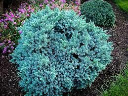 Juniper Blue Star (2 gallon) $49.99