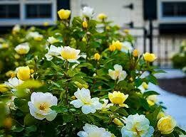 Rose Knockout Sunny Yellow (2 gallon) $49.99