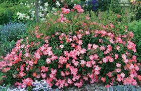 Rose Drift Pink $29.99