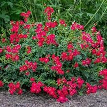Rose Drift Red (2 gallon) $49.99