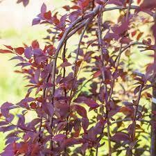 Cherry Weeping Purple Plunge (15 gallon) $189.99