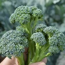 Broccoli (3 pack vegetable)