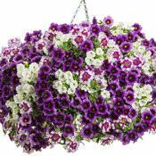 """Avalon (12"""" Hanging Basket) $49.99"""